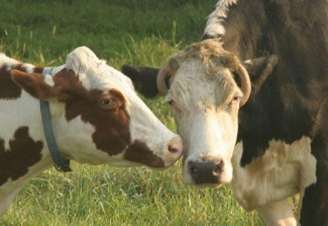 14 curiozitati pe care nu le stiai despre vaci