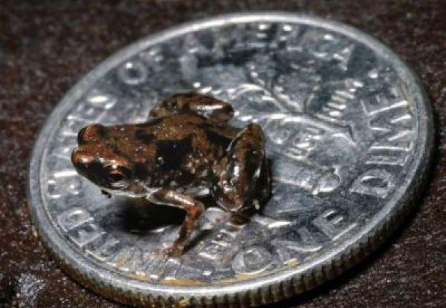 Iata cea mai mica broscuta din lume