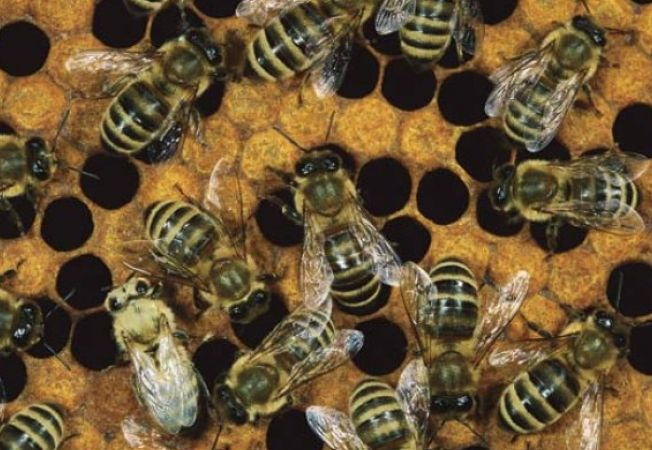Cum reusesc albinele sa produca miere si propolis