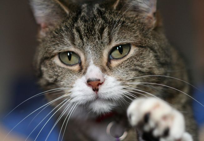 6 cauze ale agresivitatii la pisici