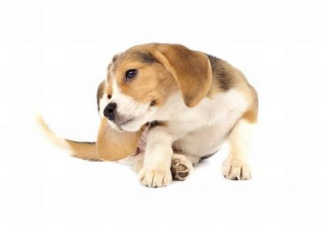 Reactiile alergice la caini - ce trebuie facut?