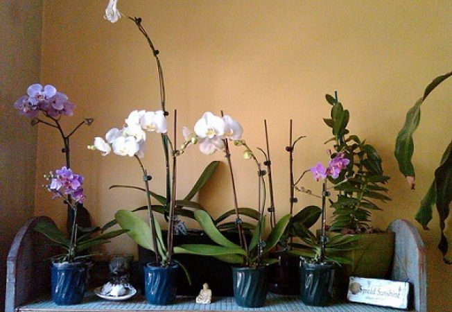 Orhidee: Cele mai des intalnite probleme