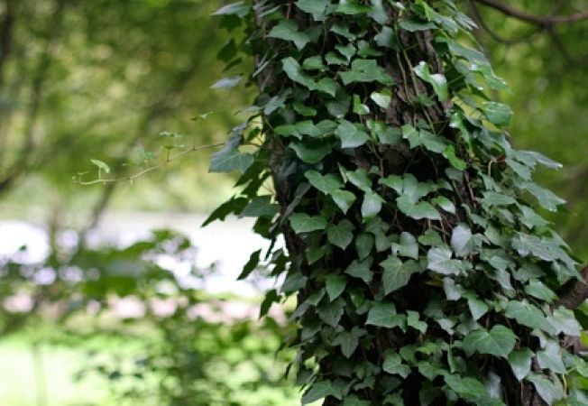 Iedera in gradina, planta decorativa sau buruiana periculoasa?