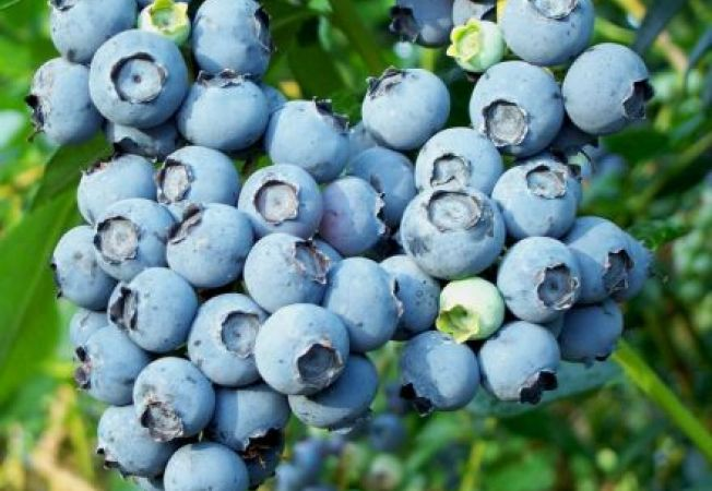 Afinul in ghiveci: cum il cultivi
