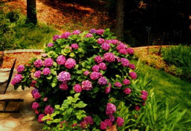 15 trucuri pentru ingrijirea hortensiilor