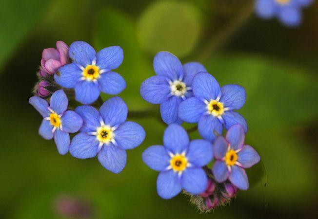 Legenda florii de Nu ma uita