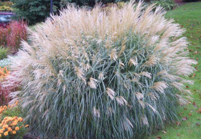 Cum cresti iarba ornamentala