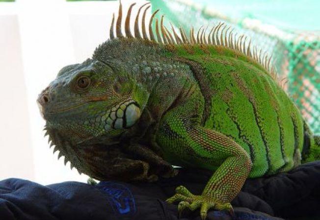 Cum sa iti mentii iguana sanatoasa