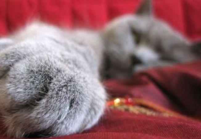 Pisica ta e dreptace sau stangace?