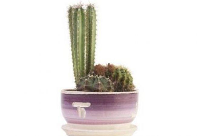 Replantarea unui cactus: ce trebuie sa stii