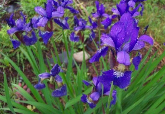Cum ingrijesti floarea de iris (stanjenelul)