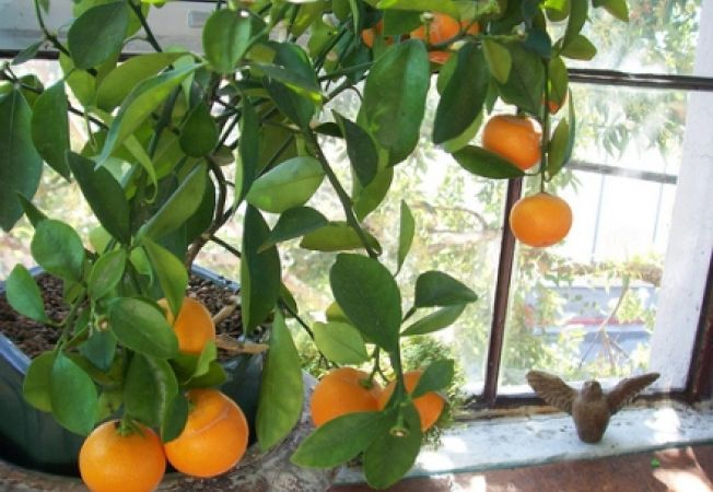 Tot ce trebuie sa stii despre portocalul de apartament