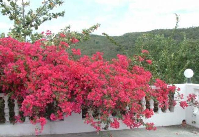 Top plante cataratoare cu flori