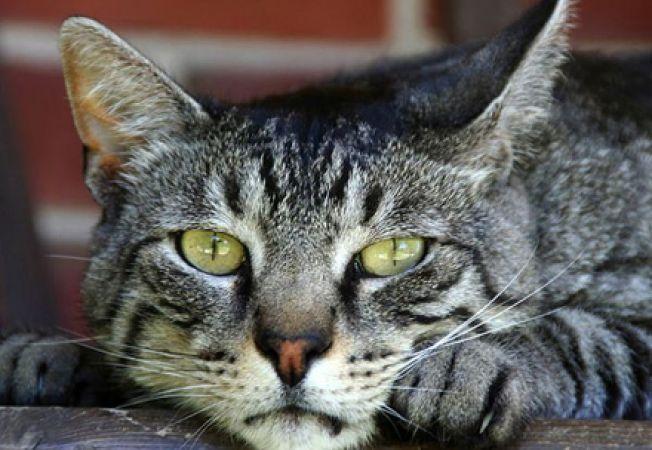 Diabetul la pisici