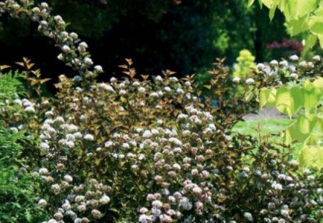 Arbusti ornamentali pentru gradina for Arbusti ornamentali