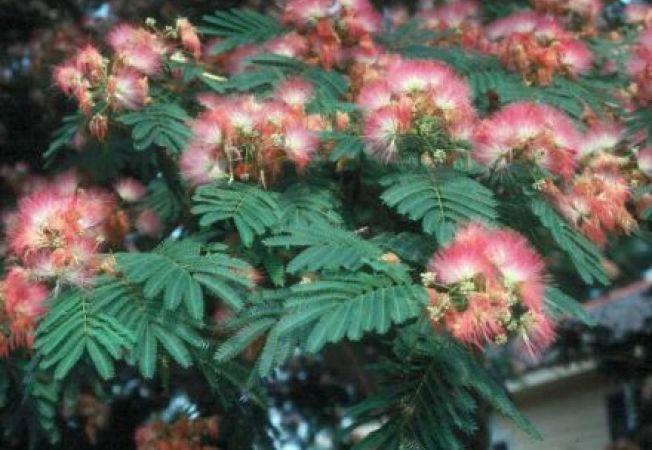 Albizia julibrissin sau arborele de matase