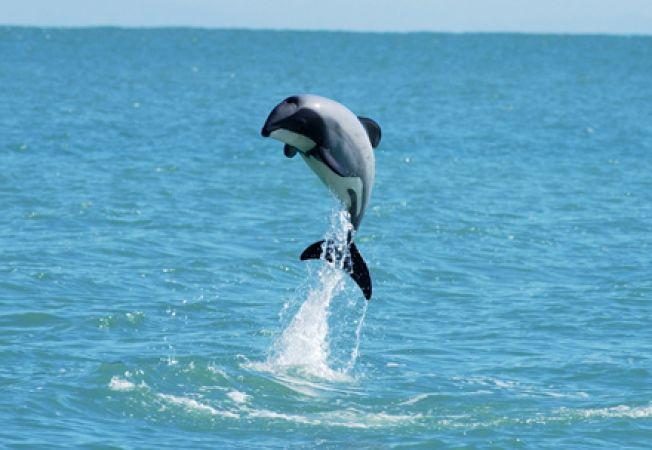 Cel mai mic delfin din lume, pe cale de disparitie