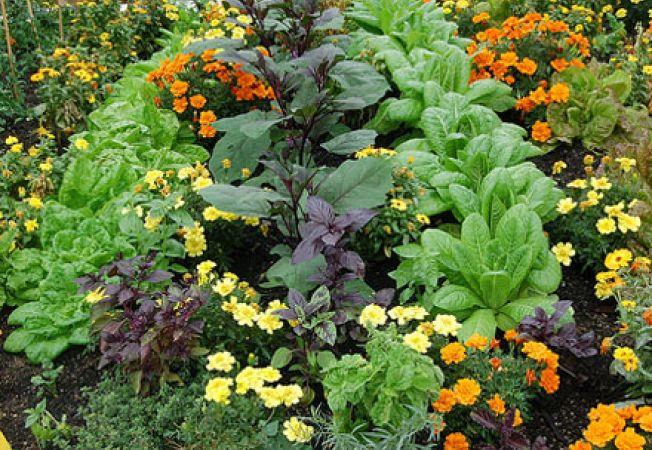 Plantele companion, un element de ajutor in gradina ta