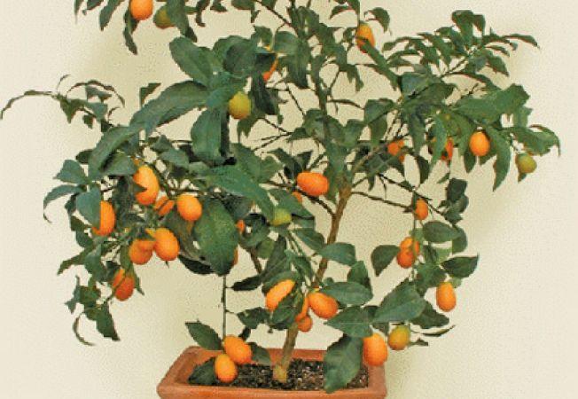 Kumquat, un pom fructifer exotic in gradina ta