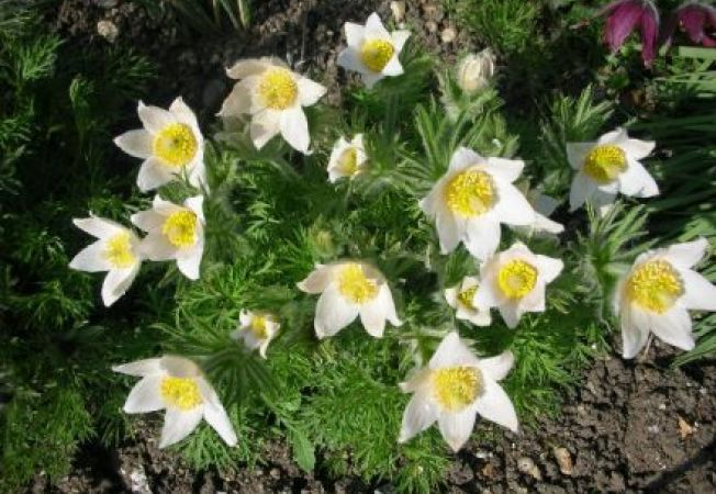 Cum plantezi Floarea Pastelui