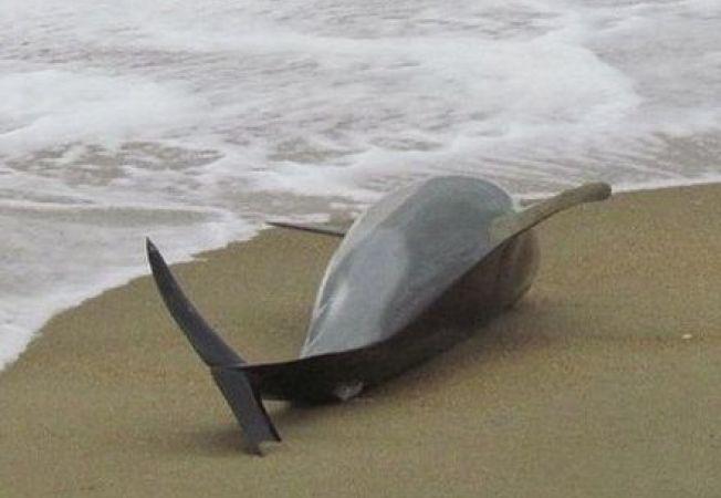 Peste 600 de delfini, gasiti morti in Peru