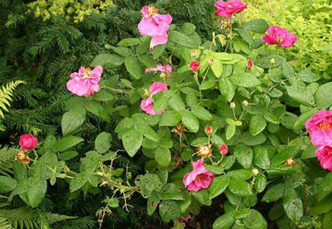 Trandafiri folositi in alte scopuri decat cel estetic
