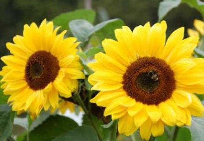 Flori de vara usor de ingrijit