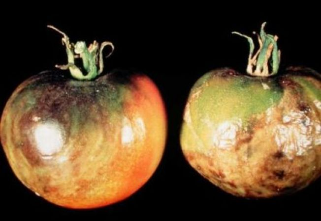 Cum combati mana tomatelor (phytophthora infestans)