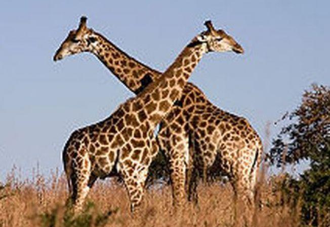 Varsta girafelor, calculata in functie de culoarea de pe blana