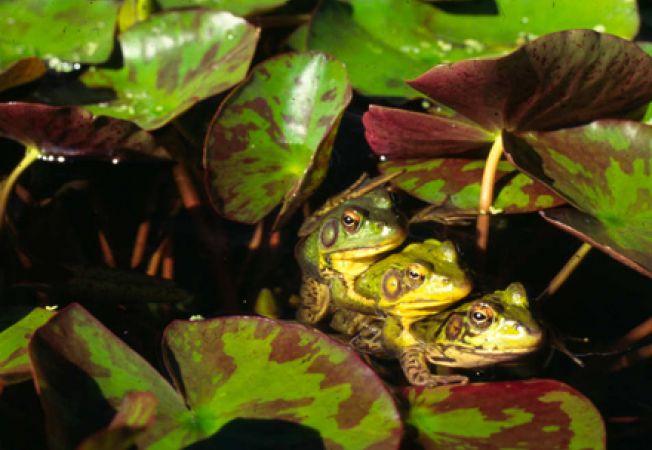 Broaste, insecte si alte animale de apa pentru iazul din gradina