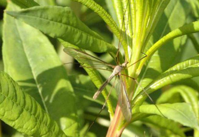 Cum combati insecta Tipula oleracea