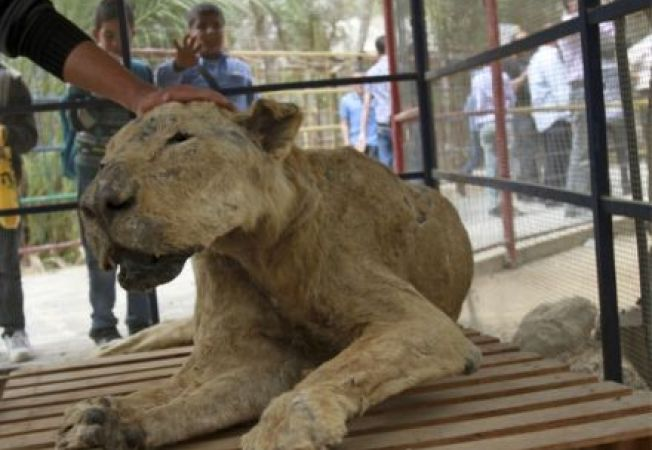 Gradina zoologica cu animale moarte si impaiate, in Gaza