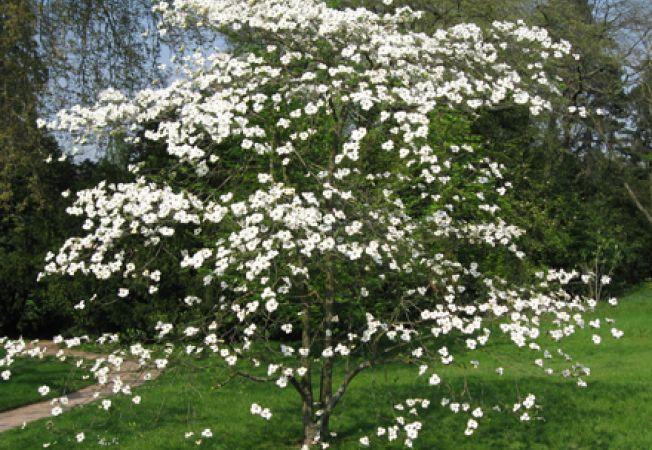 Cornus florida, un arbust ornamental gratios