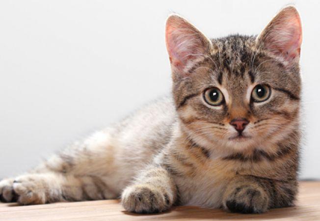 Informatii utile despre perioada de calduri la pisici