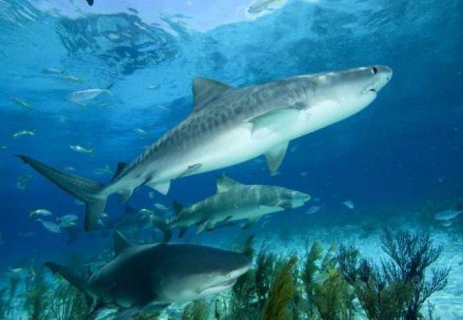Rechinii de recif, pe cale de disparitie din cauza oamenilor