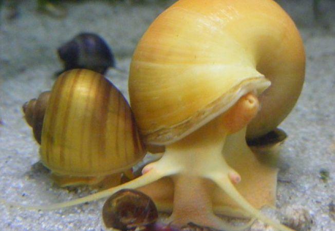 Ce trebuie sa stii despre melcii de acvariu