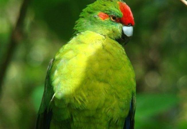 Papagal kakriki