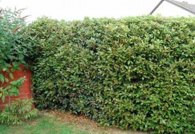 Plante pentru un gard viu in gradina