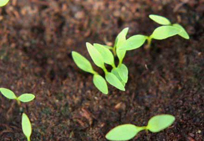 Ingrijirea rasadurilor semanate in aceasta primavara