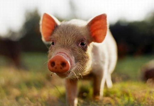 Un porc din Ucraina este profet la Euro 2012