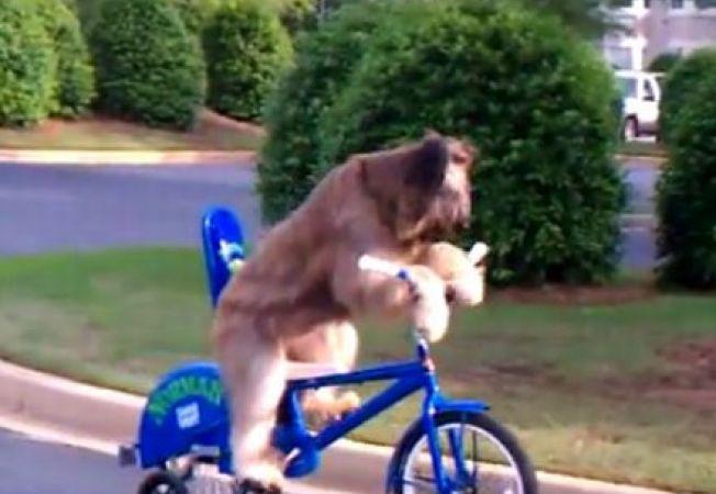 Catelul Norman stie sa mearga cu bicicleta (VIDEO)