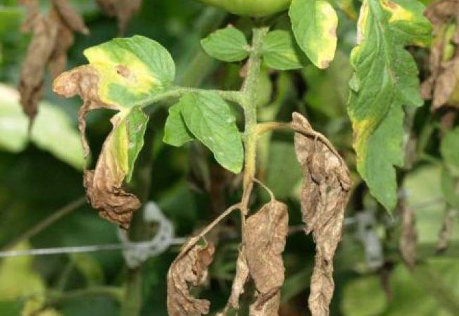 Boli ale plantelor in lunile mai si iunie