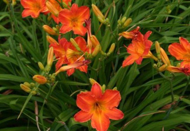 Flori colorate de vara pentru gradina