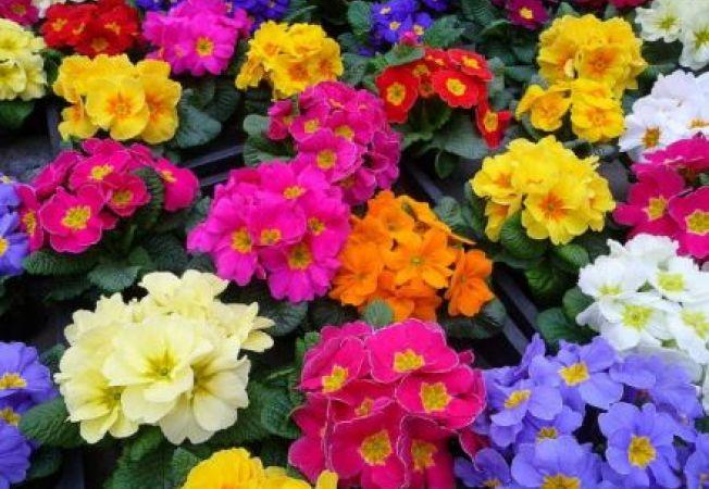 Flori perene pe care le poti cultiva cu usurinta din seminte