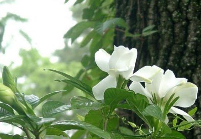 Fertilizarea gardeniei: cand si de ce sa ii oferi ingrasamant