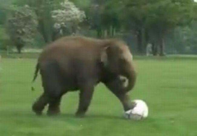 Donna, femela-elefant talentata la fotbal (VIDEO)