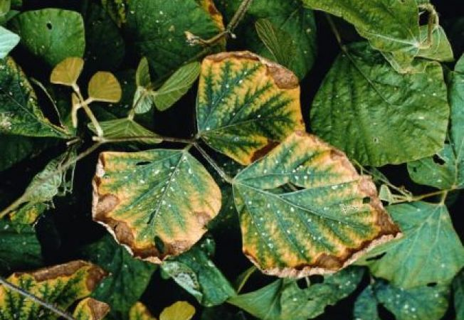 Influenta cuprului asupra plantelor de gradina