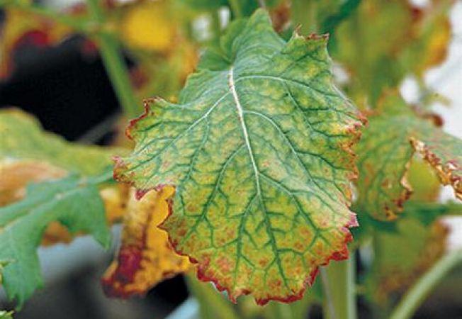 Influenta magneziului asupra plantelor de gradina
