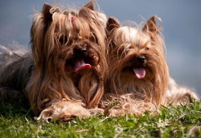 Yorkshire Terrier - 5 reguli de ingrijire