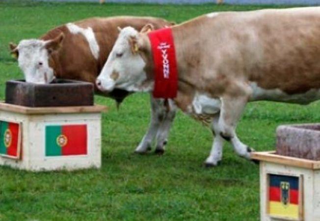 O vaca a prezis infrangerea Germaniei la EURO 2012
